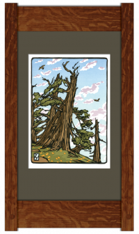 Bristlecone Pine - Product Image